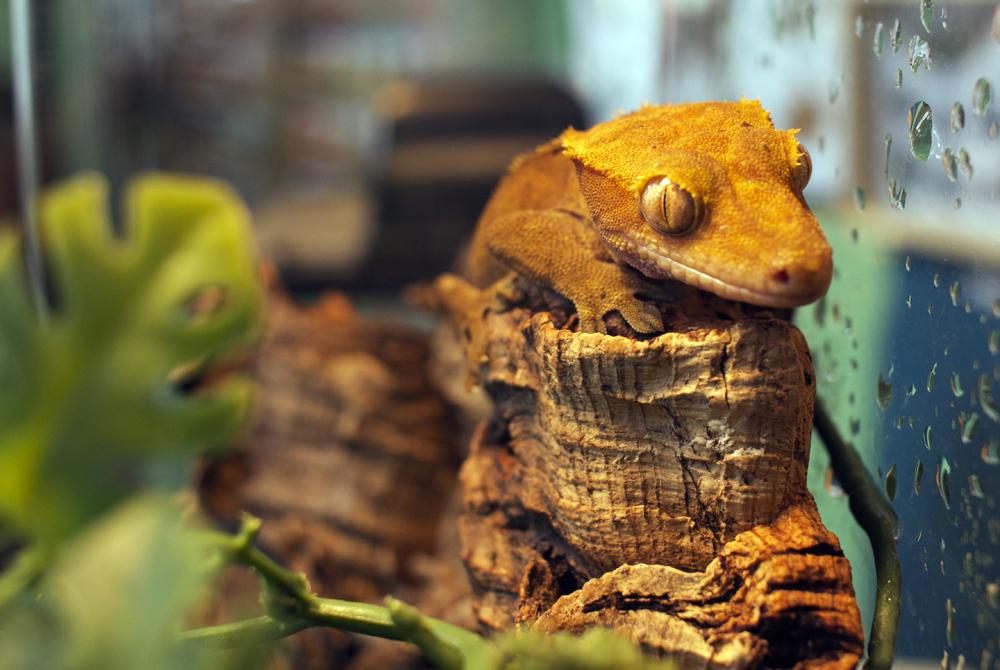 Bokeh Lizard